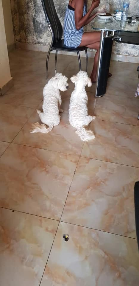 Private: Male and female Adult lhasa