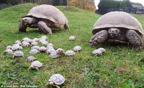 Tortoise As Pet For Sale