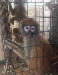 Yellow Patas Monkey For Sale