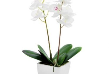 Potted Mini Orchid Cream 33cm