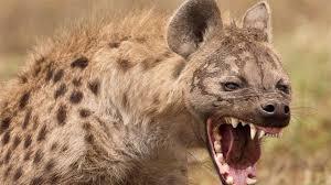 Hyena Animals For Sale