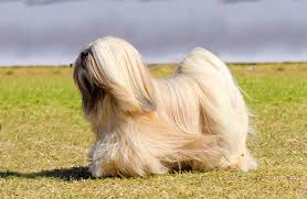 Young Male Purebred Lhasa Apso